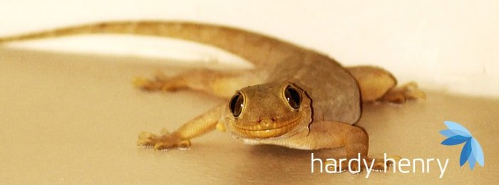Hardy Henry Services - Lizards - Pest Control