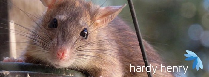 Hardy Henry Services - Rats - Pest Control