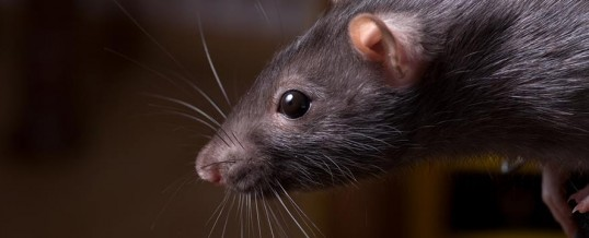 Let the year of the Rat be rodent-free!